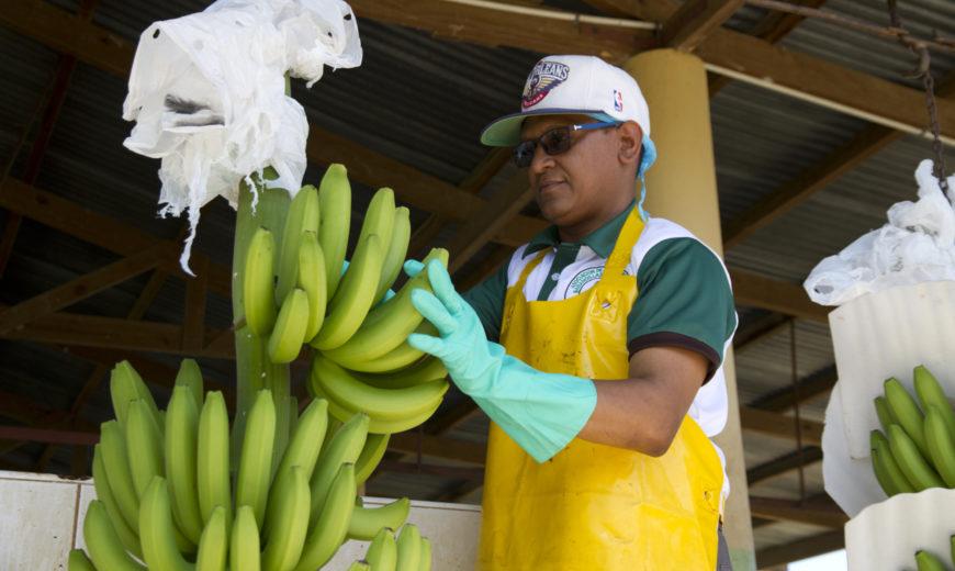2020_Juan_Banana_Dominican