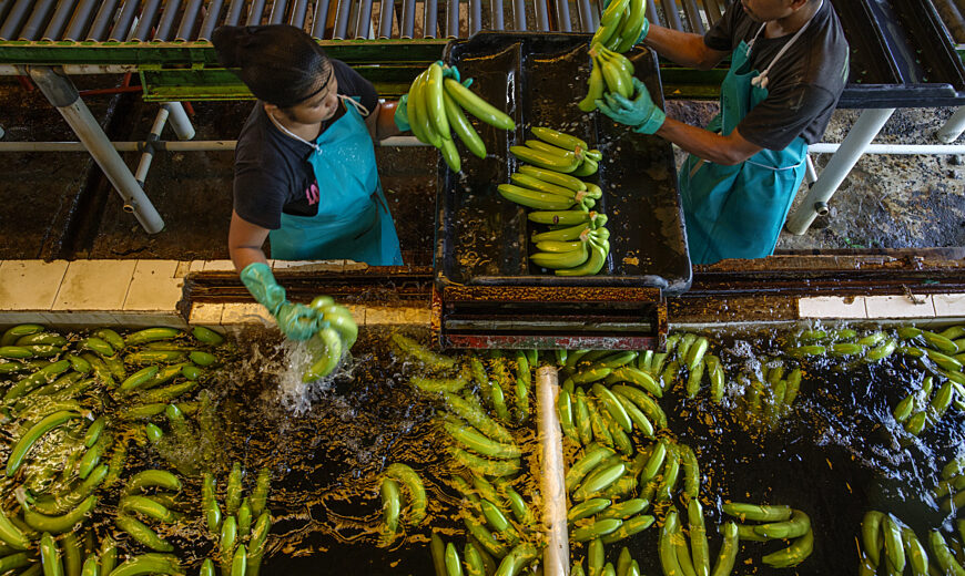 Workers at Coobana cooperative washing bananas before packaging.