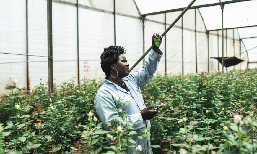 Karen Roses Ravine Roses Kenya 2020