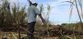 Francisco Hernandez, 33, from Xaibé, cuts sugar cane at the plot of local BSCFA member Leocadio Hoy. Belize Sugar Cane Farmers Association (BSCFA), Xaibé, Corozal, Belize.