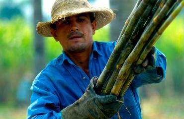 Man carrying sugar cane
