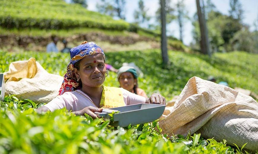 11179 Tea Worker Sri Lanka 870