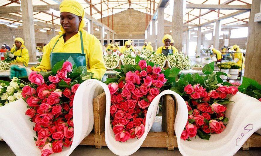 17936 Flower Worker Bundling Roses Kenya 870