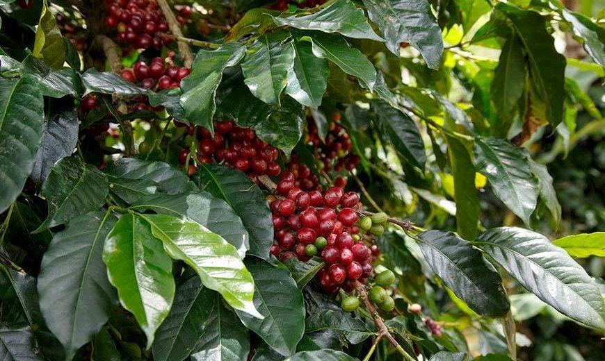 20590 KBQB Coffee Cherries 870