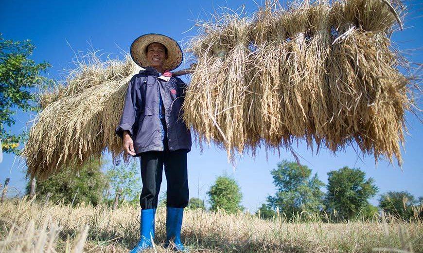 20811 Ricefarmercarryingbundles 870