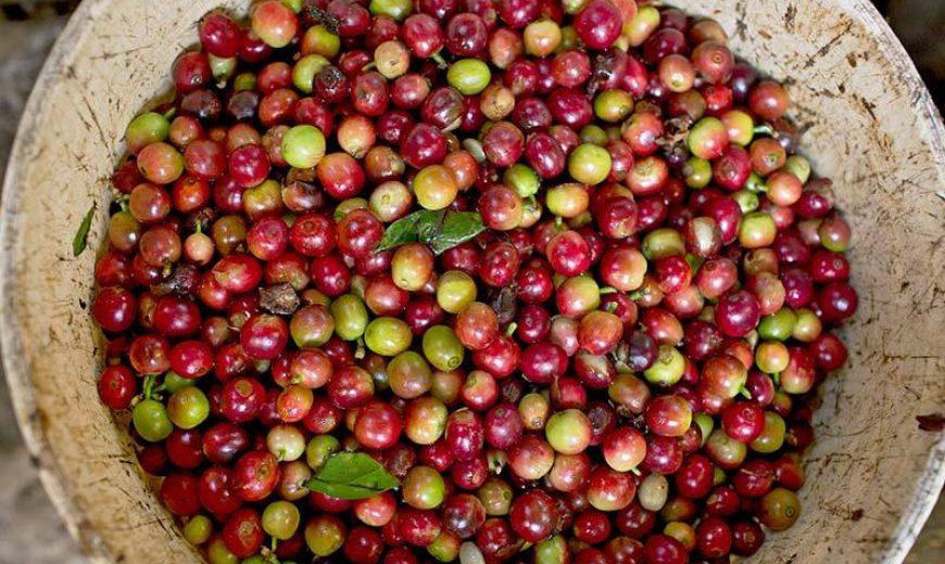 21712 Coffee Cherries Bucket 800