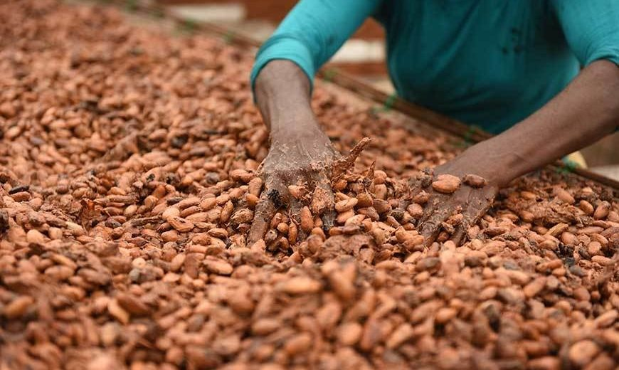 23451 Cocoa Drying Close Up 870