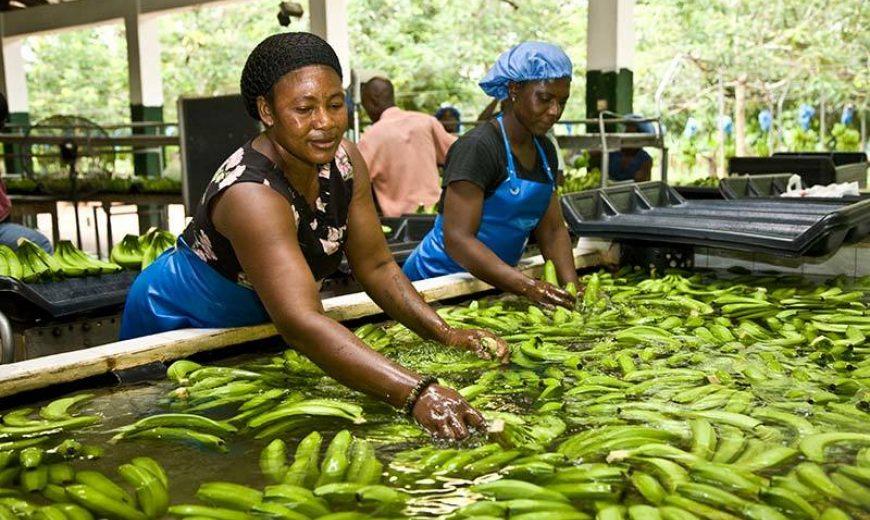 5464 Banana Workers Ghana 800