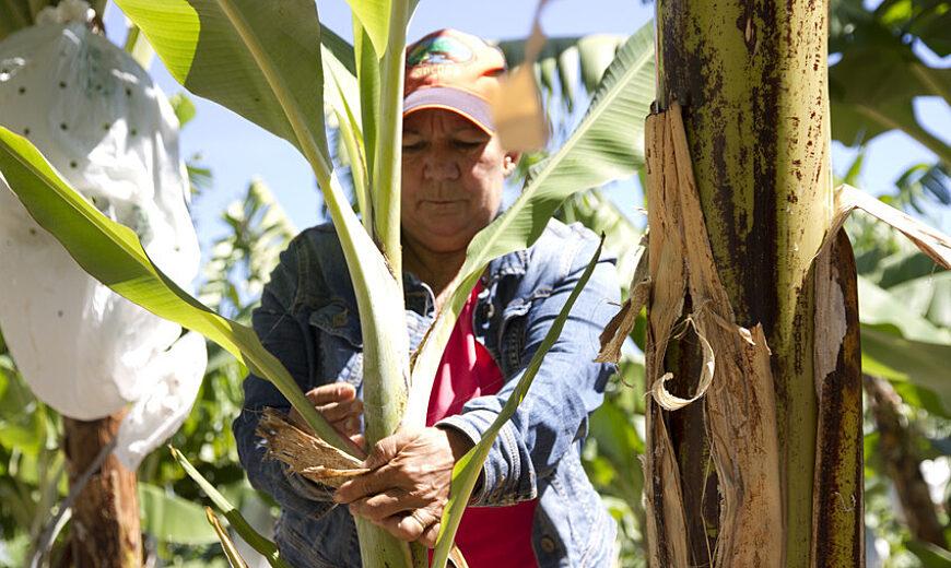 850 Dom Rep banana producer 29751