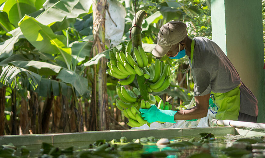 850 Dom Rep banana worker 32191
