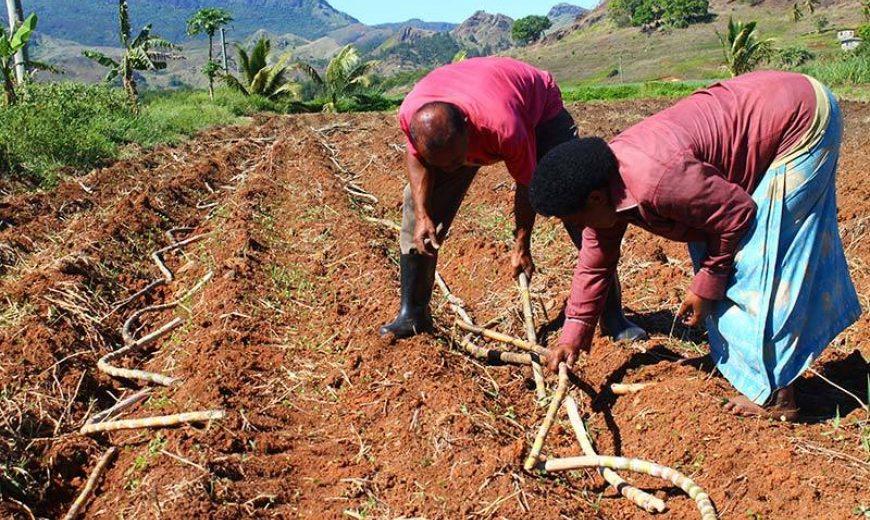 Fiji Planting Cane 03 800