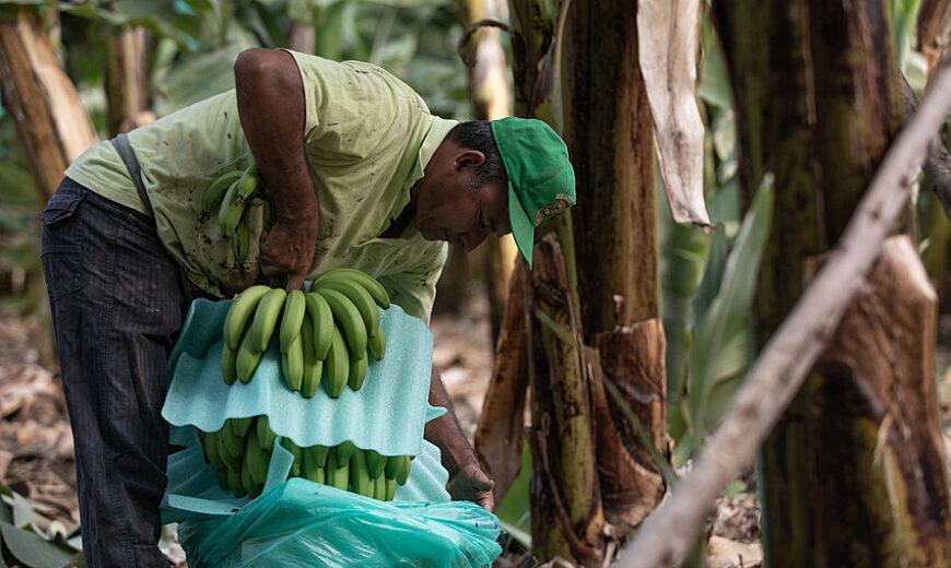 Peru Bananas producers 2021 FARMERS Docuseries scr