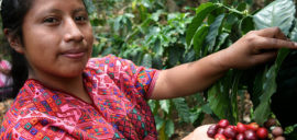 Alberta picks coffee at her Fairtrade cooperative in Guatemala.
