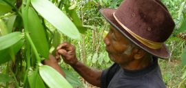 Vanilla is a labour-intensive crop that requires pollination by hand outside of its native habitat in Central America. Madagascar currently producers 80% of the world's supply.