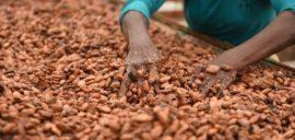 A farmer in Ghana drying cocoa beans.