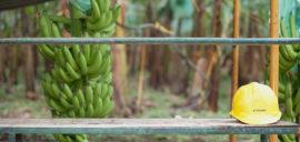 Processing bananas in Ecuador