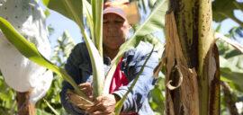 A female farmer tends to her banana plants