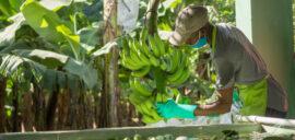 A banana worker inspecting a banana plant