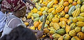 Woman cocoa farmer breaks open a yellow cocoa pod