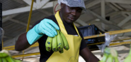 A man sorting bananas in the packing station