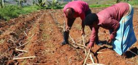 Farmers from Labasa Cane Producers Association planting sugar cane in Fiji.