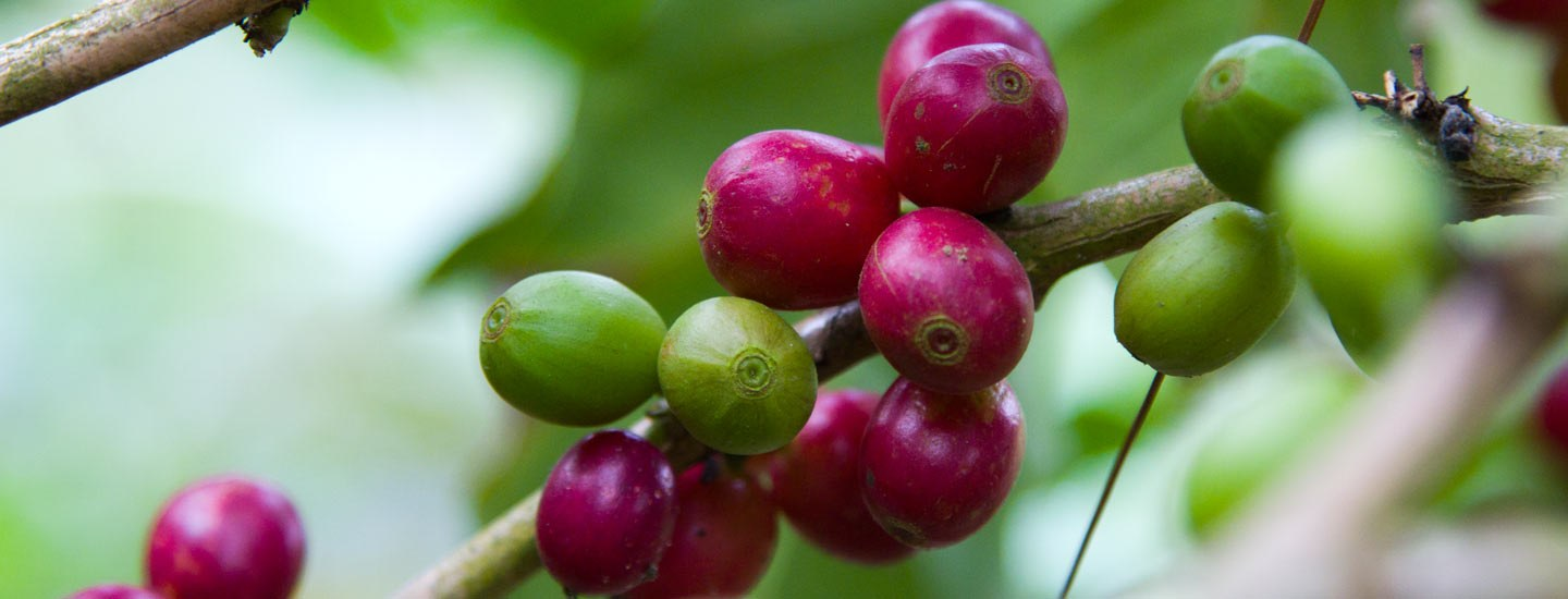 Image of coffee cherries