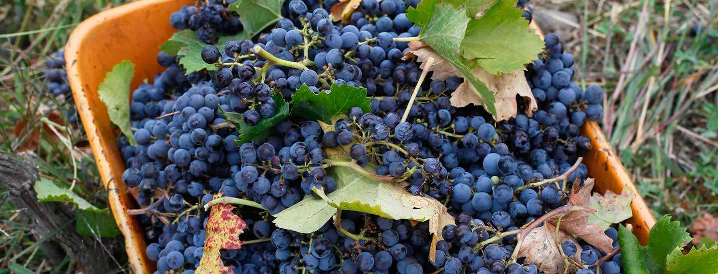 Image of wine grapes
